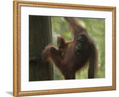 Orangutan Mother with its Baby, Sabah, Malaysia-Tim Fitzharris-Framed Photographic Print