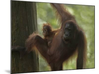 Orangutan Mother with its Baby, Sabah, Malaysia-Tim Fitzharris-Mounted Photographic Print
