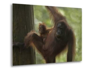 Orangutan Mother with its Baby, Sabah, Malaysia-Tim Fitzharris-Metal Print