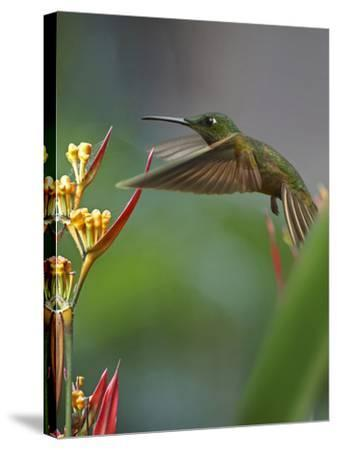 Fawn-Breasted Brilliant Hummingbird-Tim Fitzharris-Stretched Canvas Print