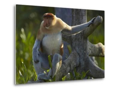 Proboscis Monkey Male Sitting, Sabah, Malaysia-Tim Fitzharris-Metal Print