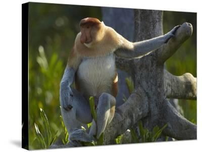 Proboscis Monkey Male Sitting, Sabah, Malaysia-Tim Fitzharris-Stretched Canvas Print