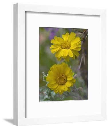 Desert Marigold, Arizona, Usa-Tim Fitzharris-Framed Photographic Print