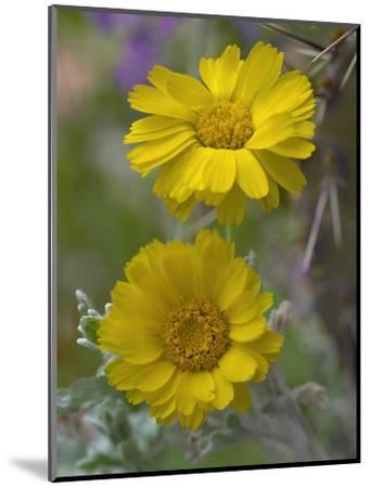 Desert Marigold, Arizona, Usa-Tim Fitzharris-Mounted Photographic Print