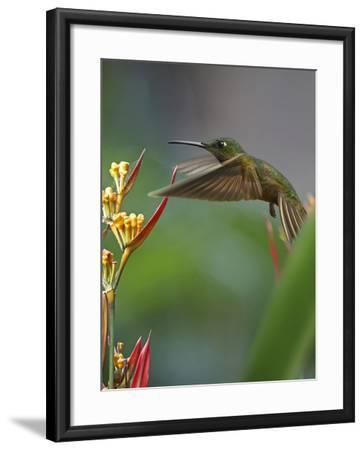 Fawn-Breasted Brilliant Hummingbird-Tim Fitzharris-Framed Photographic Print