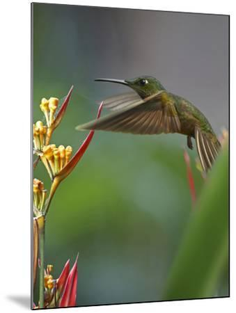 Fawn-Breasted Brilliant Hummingbird-Tim Fitzharris-Mounted Photographic Print