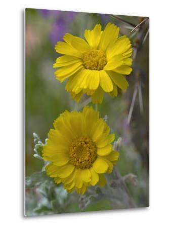 Desert Marigold, Arizona, Usa-Tim Fitzharris-Metal Print
