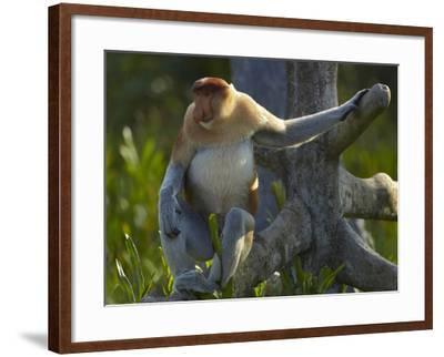 Proboscis Monkey Male Sitting, Sabah, Malaysia-Tim Fitzharris-Framed Photographic Print