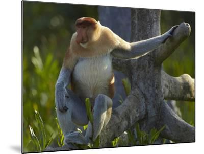 Proboscis Monkey Male Sitting, Sabah, Malaysia-Tim Fitzharris-Mounted Photographic Print