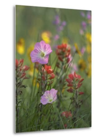 Mexican Primrose and Paintbrushes, Texas, Usa-Tim Fitzharris-Metal Print