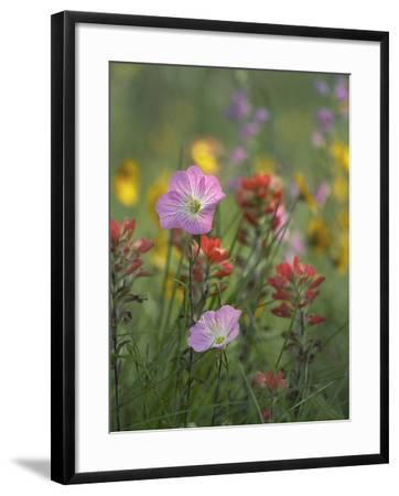 Mexican Primrose and Paintbrushes, Texas, Usa-Tim Fitzharris-Framed Photographic Print