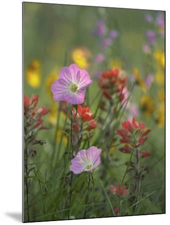 Mexican Primrose and Paintbrushes, Texas, Usa-Tim Fitzharris-Mounted Photographic Print