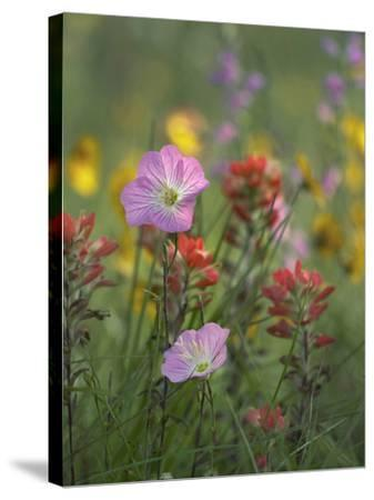 Mexican Primrose and Paintbrushes, Texas, Usa-Tim Fitzharris-Stretched Canvas Print