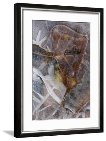 Utah. Abstract Design of Frozen Ice Patterns and Aspen Leaf in Stream, Hunter Canyon, Near Moab-Judith Zimmerman-Framed Photographic Print