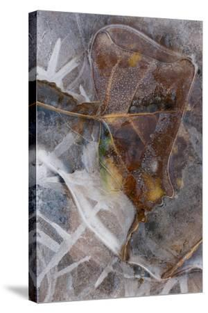 Utah. Abstract Design of Frozen Ice Patterns and Aspen Leaf in Stream, Hunter Canyon, Near Moab-Judith Zimmerman-Stretched Canvas Print