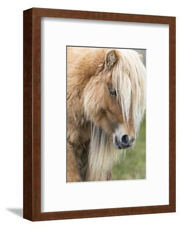 Shetland Pony on the Island of Foula, Part of the Shetland Islands in Scotland-Martin Zwick-Framed Photographic Print
