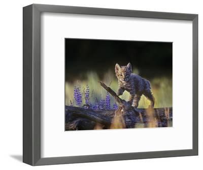 Bobcat Kitten Walking on a Fallen Log, Montana, Usa-Tim Fitzharris-Framed Photographic Print