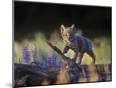 Bobcat Kitten Walking on a Fallen Log, Montana, Usa-Tim Fitzharris-Mounted Photographic Print