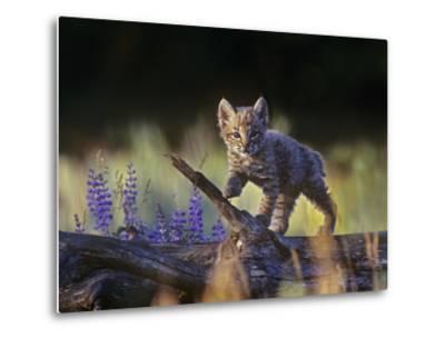 Bobcat Kitten Walking on a Fallen Log, Montana, Usa-Tim Fitzharris-Metal Print