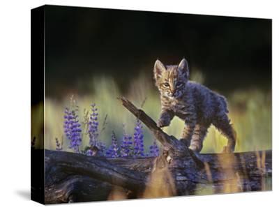 Bobcat Kitten Walking on a Fallen Log, Montana, Usa-Tim Fitzharris-Stretched Canvas Print