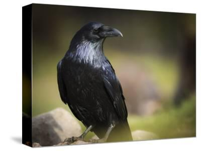 Common Raven, Corvus Corax, West Yellowstone, Montana, Wild-Maresa Pryor-Stretched Canvas Print