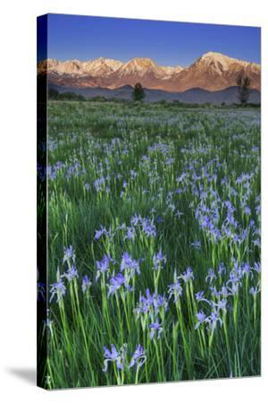 California, Sierra Nevada Mountains. Wild Iris Blooming in Owens Valley-Jaynes Gallery-Stretched Canvas Print