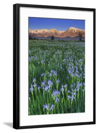 California, Sierra Nevada Mountains. Wild Iris Blooming in Owens Valley-Jaynes Gallery-Framed Photographic Print
