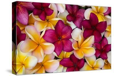 Hawaii, Maui, Plumeria in Mass Display-Terry Eggers-Stretched Canvas Print