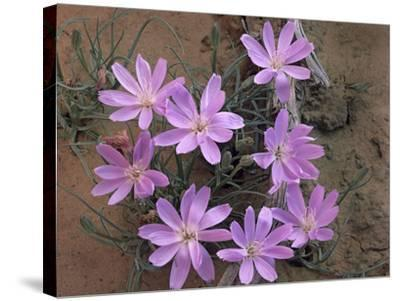Close-Up of a Desert Chicory, Utah, Usa-Tim Fitzharris-Stretched Canvas Print