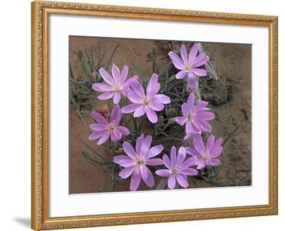Close-Up of a Desert Chicory, Utah, Usa-Tim Fitzharris-Framed Photographic Print