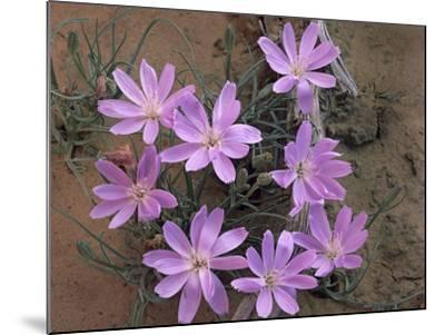 Close-Up of a Desert Chicory, Utah, Usa-Tim Fitzharris-Mounted Photographic Print