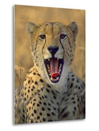 Cheetah, Kenya, Africa-Tim Fitzharris-Metal Print