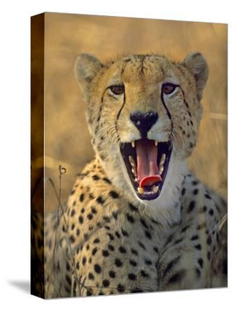 Cheetah, Kenya, Africa-Tim Fitzharris-Stretched Canvas Print