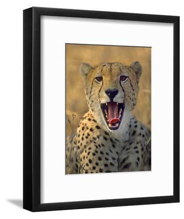 Cheetah, Kenya, Africa-Tim Fitzharris-Framed Photographic Print