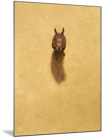 Leaping Red Squirrel-Tim Hayward-Mounted Giclee Print
