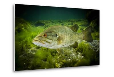 A Smallmouth Bass Defends His Nest in the Saint Lawrence River-David Doubilet-Metal Print