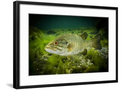 A Smallmouth Bass Defends His Nest in the Saint Lawrence River-David Doubilet-Framed Photographic Print