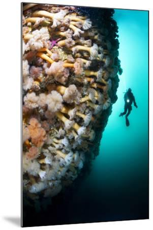 A Steep Fjord Wall Densely Covered with Anemones in Bonne Bay-David Doubilet-Mounted Photographic Print