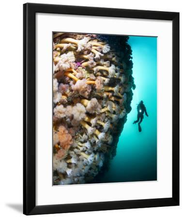 A Steep Fjord Wall Densely Covered with Anemones in Bonne Bay-David Doubilet-Framed Photographic Print