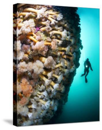 A Steep Fjord Wall Densely Covered with Anemones in Bonne Bay-David Doubilet-Stretched Canvas Print