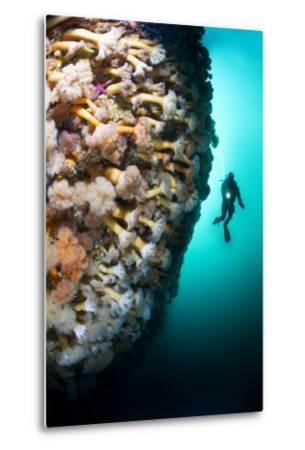A Steep Fjord Wall Densely Covered with Anemones in Bonne Bay-David Doubilet-Metal Print