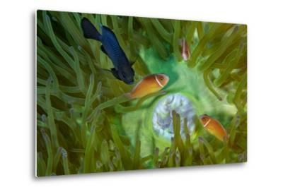A Threespot Damselfish Swims Near a Trio of Pink Anemonefish in Papua New Guinea's Kimbe Bay-David Doubilet-Metal Print