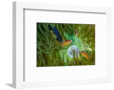 A Threespot Damselfish Swims Near a Trio of Pink Anemonefish in Papua New Guinea's Kimbe Bay-David Doubilet-Framed Photographic Print