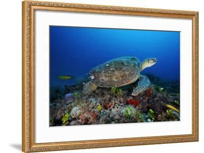 A Green Sea Turtle Swims Off the Esso Bonaire Shipwreck Artificial Reef-David Doubilet-Framed Photographic Print