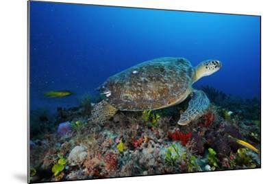 A Green Sea Turtle Swims Off the Esso Bonaire Shipwreck Artificial Reef-David Doubilet-Mounted Photographic Print