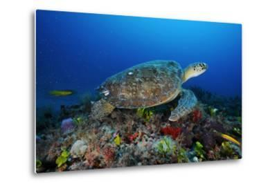 A Green Sea Turtle Swims Off the Esso Bonaire Shipwreck Artificial Reef-David Doubilet-Metal Print