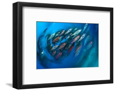 A School of Pinjalo Snappers Can Quickly Change Colors-David Doubilet-Framed Photographic Print