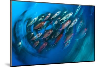 A School of Pinjalo Snappers Can Quickly Change Colors-David Doubilet-Mounted Photographic Print