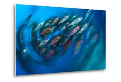 A School of Pinjalo Snappers Can Quickly Change Colors-David Doubilet-Metal Print