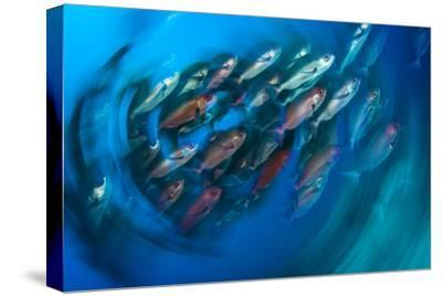 A School of Pinjalo Snappers Can Quickly Change Colors-David Doubilet-Stretched Canvas Print